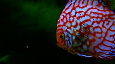 Stock Footage Exotic Tropical Fish Swimming In An Aquarium Jpg