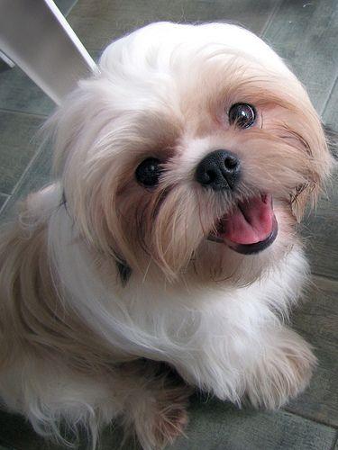 Big Head Shih Tzu Shih Tzu Puppy Shih Tzu Dog