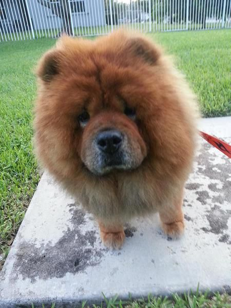 Vote For Koko In The Chap S Chow Rescue 3rd Annual Photo Contest