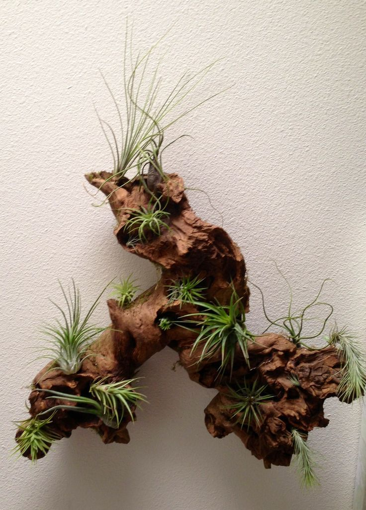 Air Plant Arrangements Driftwood