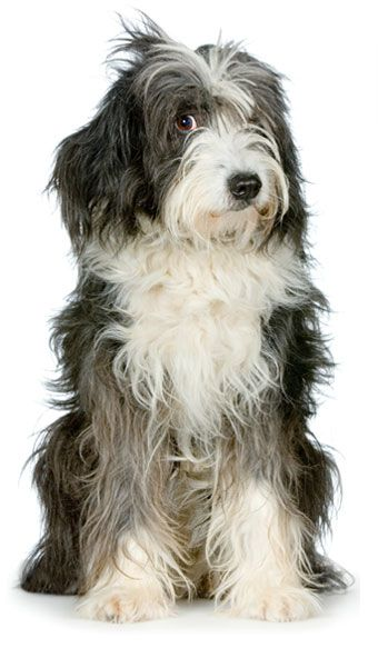 Dog Breed DNA Testing Features Tibetan Terrier Puppy Dogs