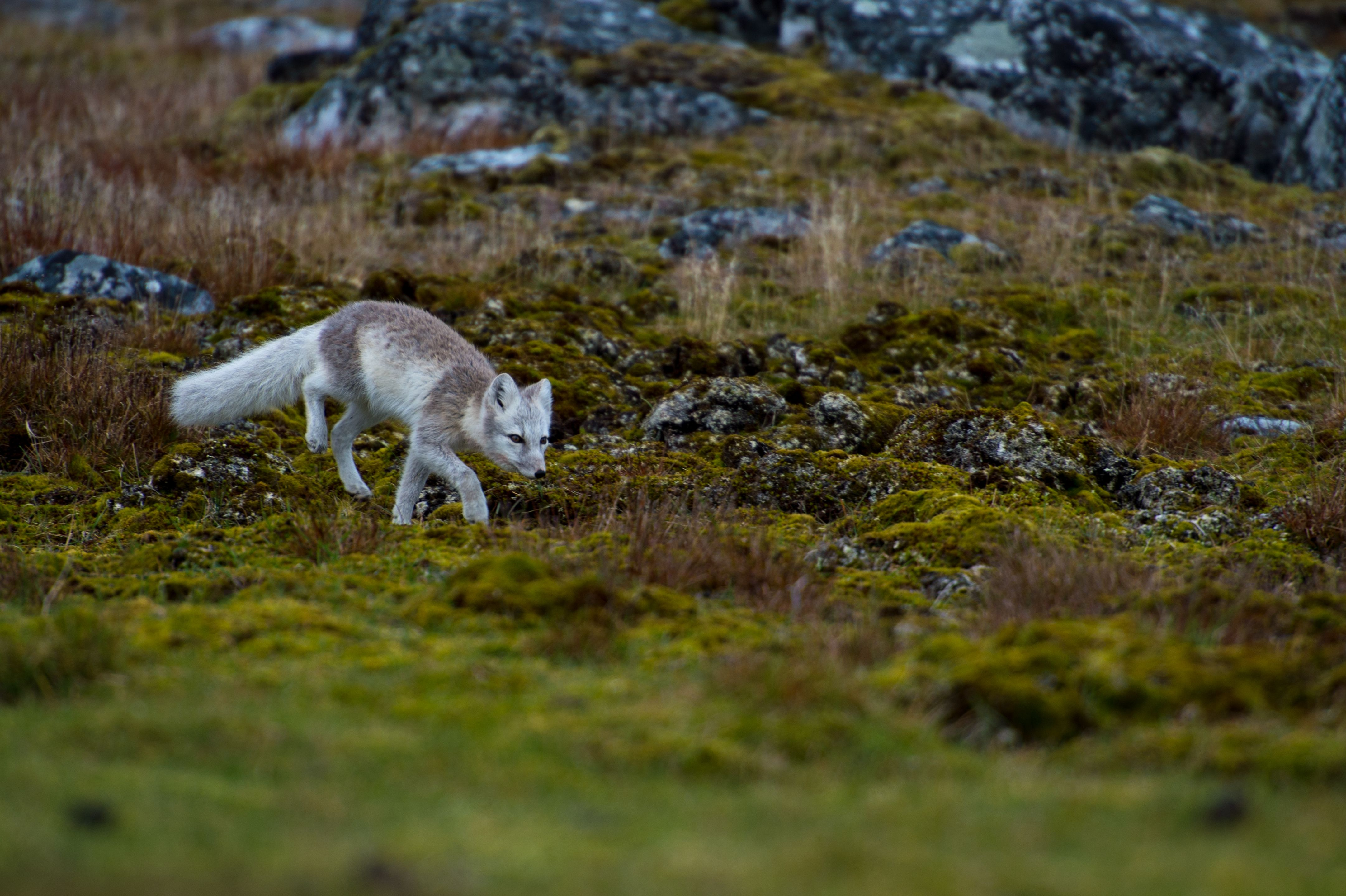 Arctic Foxes Are Quite Fleet When They Want To Be Sprinting Up To