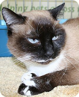 Asheville Nc Siamese Meet Daisy Duke A Cat For Adoption Cat