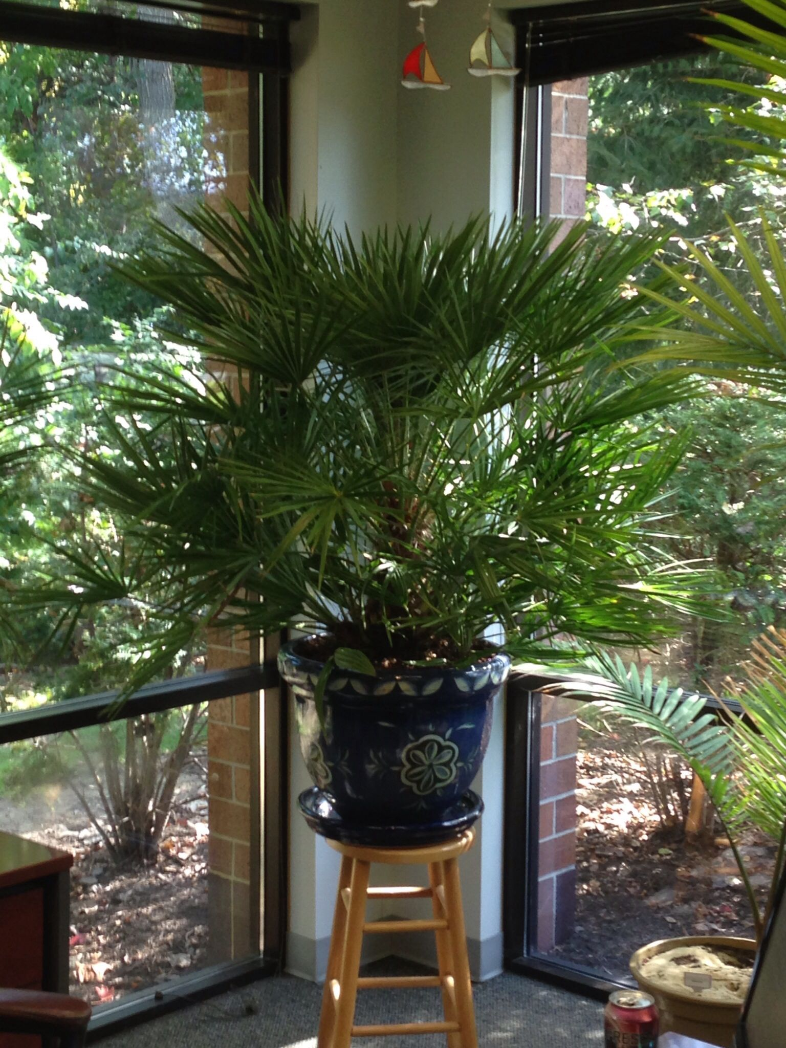 Who Says You Cant Grow A Mediterranean Fan Palm In