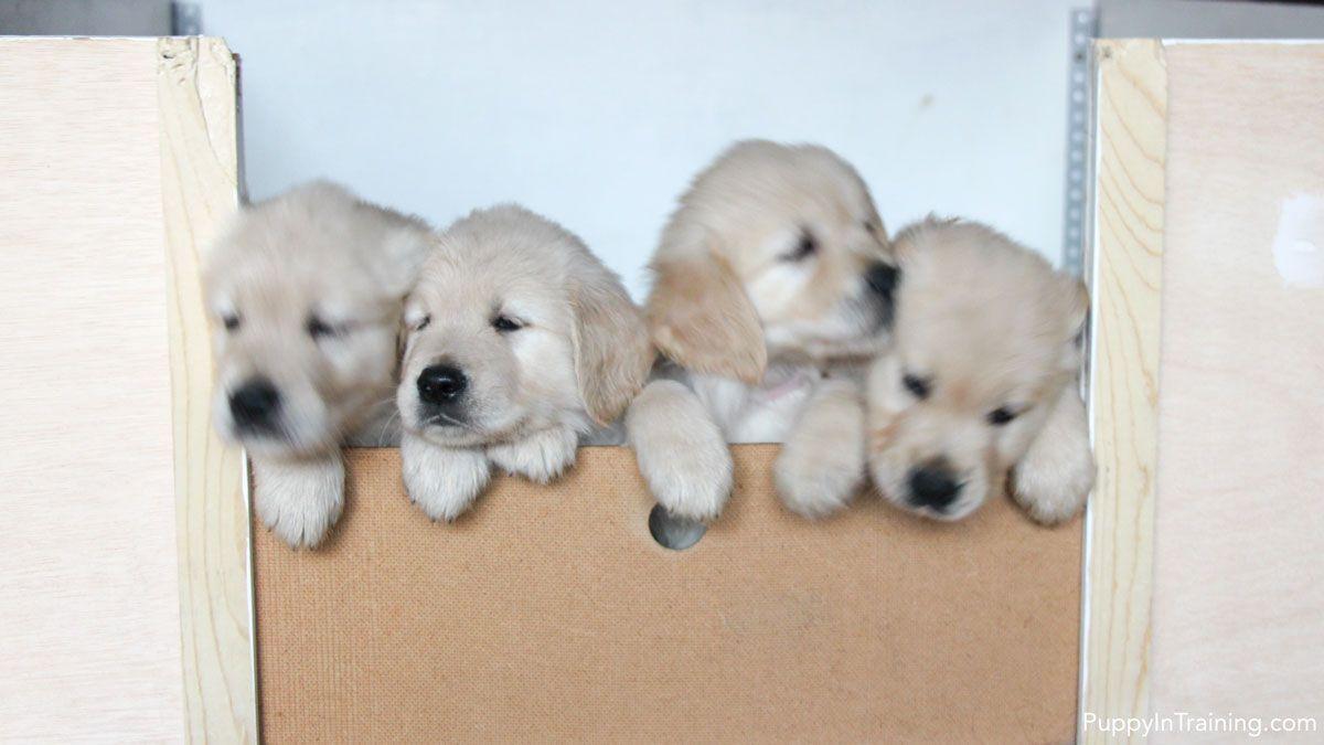 Our Litter Of Golden Retriever Pups Week 7 Cute Dogs Puppies