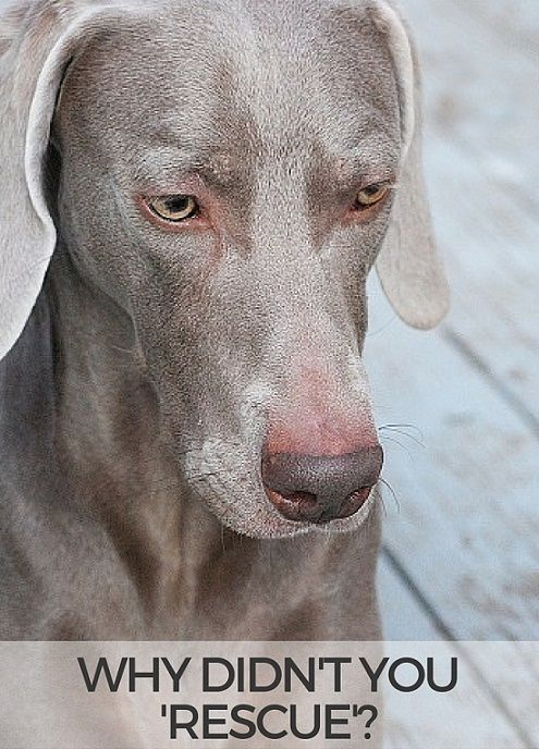 Why Didn T You Rescue A Dog Dogs Weimaraner Puppies Dog Care