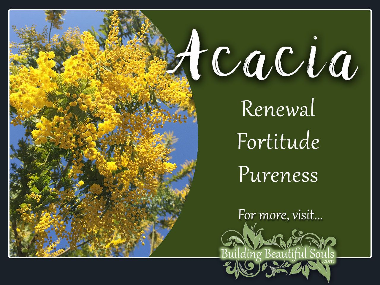 Acacia Meaning Symbolism Flower Meanings Symbolism Tropical Wedding Flowers Cheap Wedding Flowers Flower Meanings
