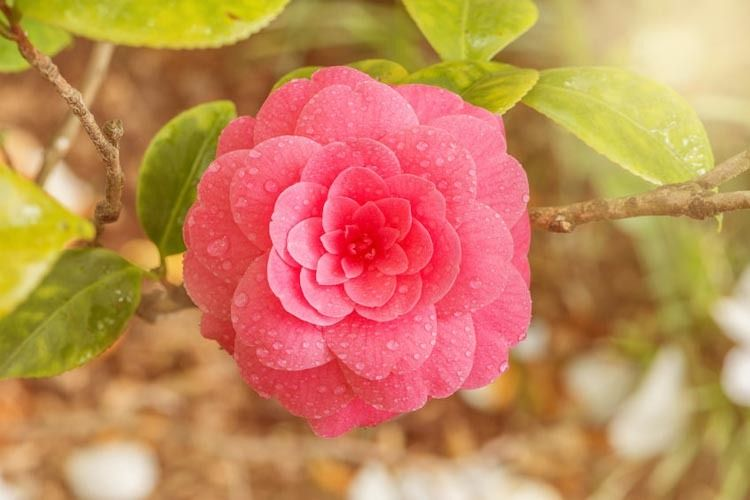fall blooming camellias winter blooming camellias spring