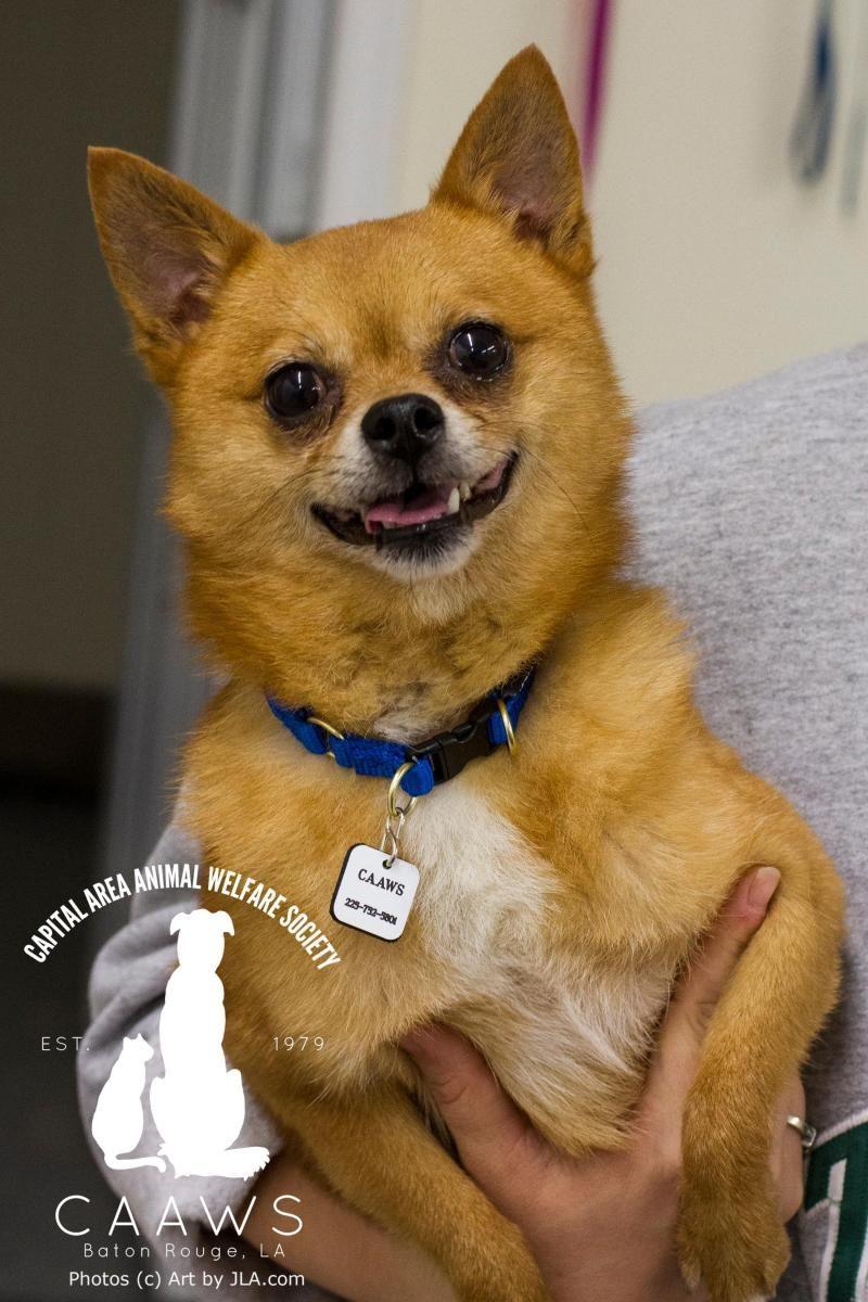 Adopt Bandit on Dog adoption, Pomeranian chihuahua mix, Dogs