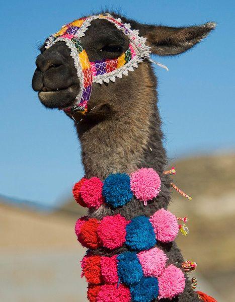 Pom Pom Alpaca Peru Llama Alpaca Peru Travel