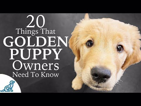 Golden Retriever Puppy First Week Home – Professional Dog Training Tips