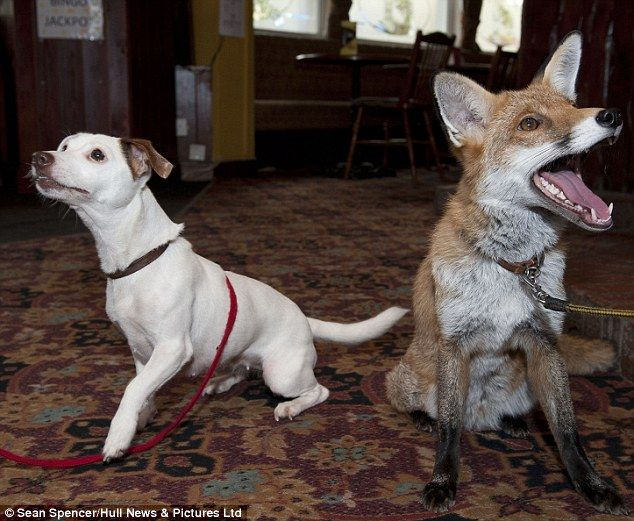 Despite his friendship with Jack Russell Eva, Tod has now been banned from the bar following complaints from locals