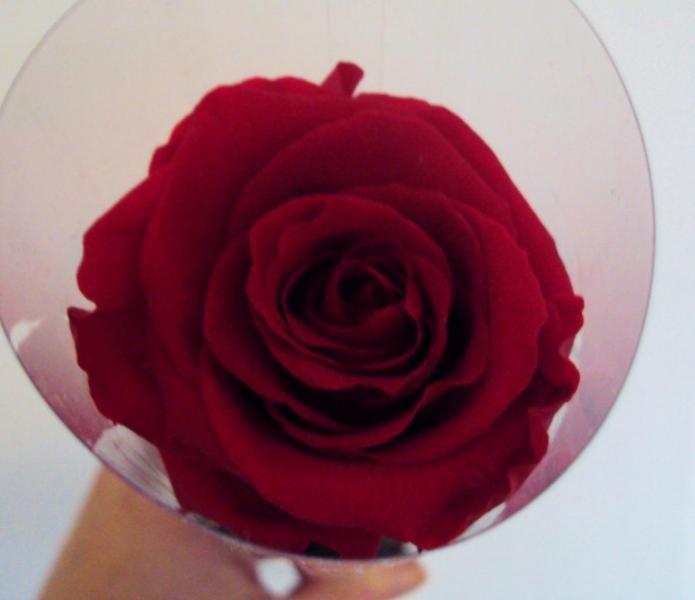 GRANDE ROSE  offrir fleur naturelle immortelle stabilisé préservée