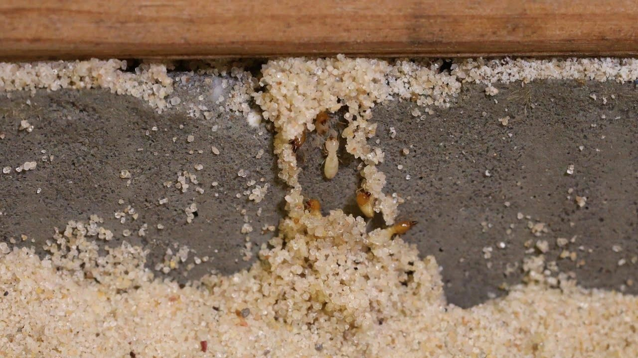 Watch as termites make mud tube formations around a real