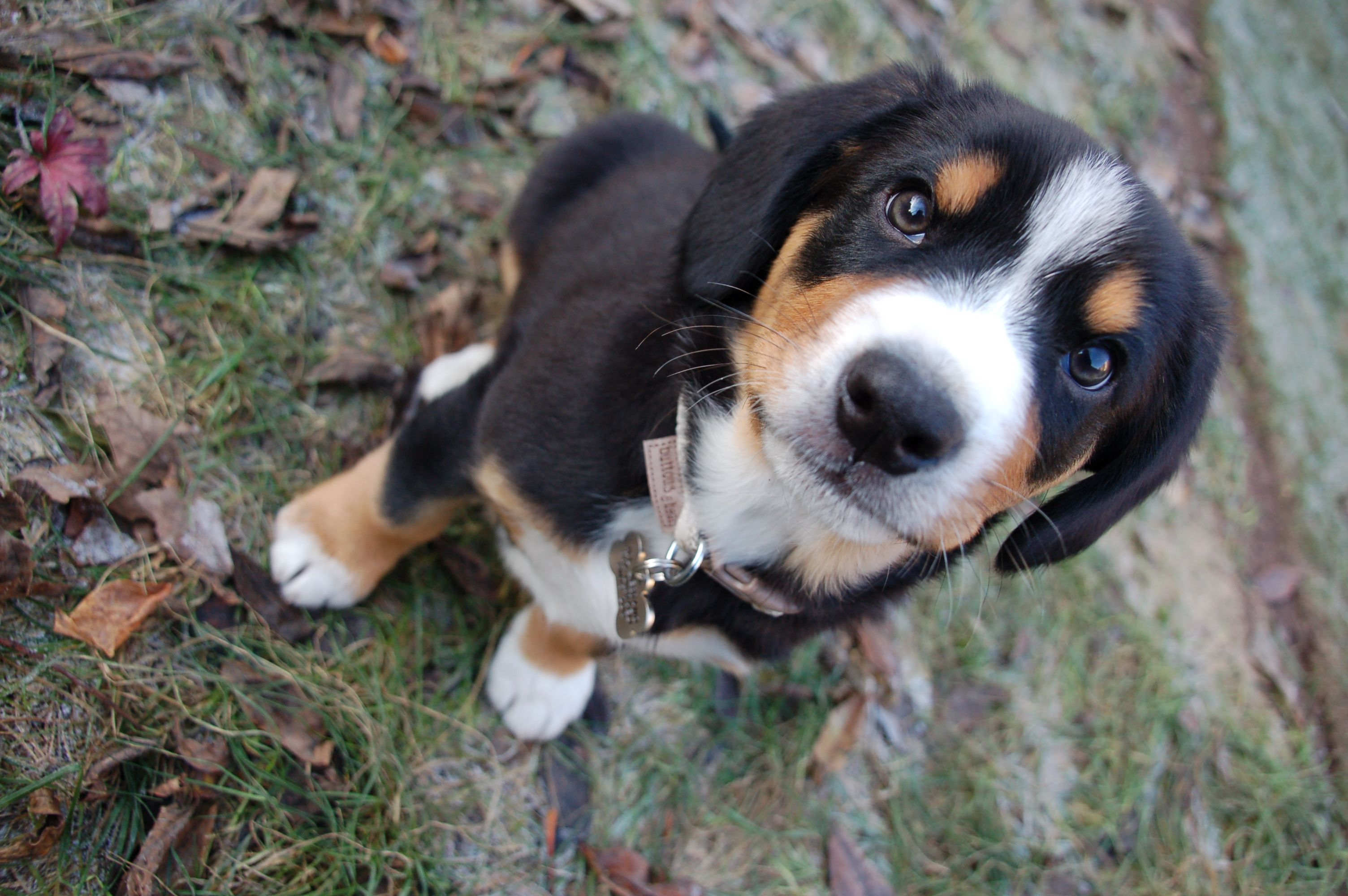Fame Or Being The Only Entle Pup In London Entlebucher Mountain Dog Cute Animals Dog Breeds