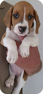 Corona Ca Basset Hound Mix Meet Hush Puppies E A Puppy For Adoption Puppy Adoption Kitten Adoption