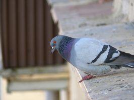 How To Make Pigeon Repellent Ehow Pigeon Repellent Bird Repellents Bird
