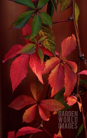 PARTHENOCISSUS_QUINQUEFOLIA_VIRGINIA_CREEPER