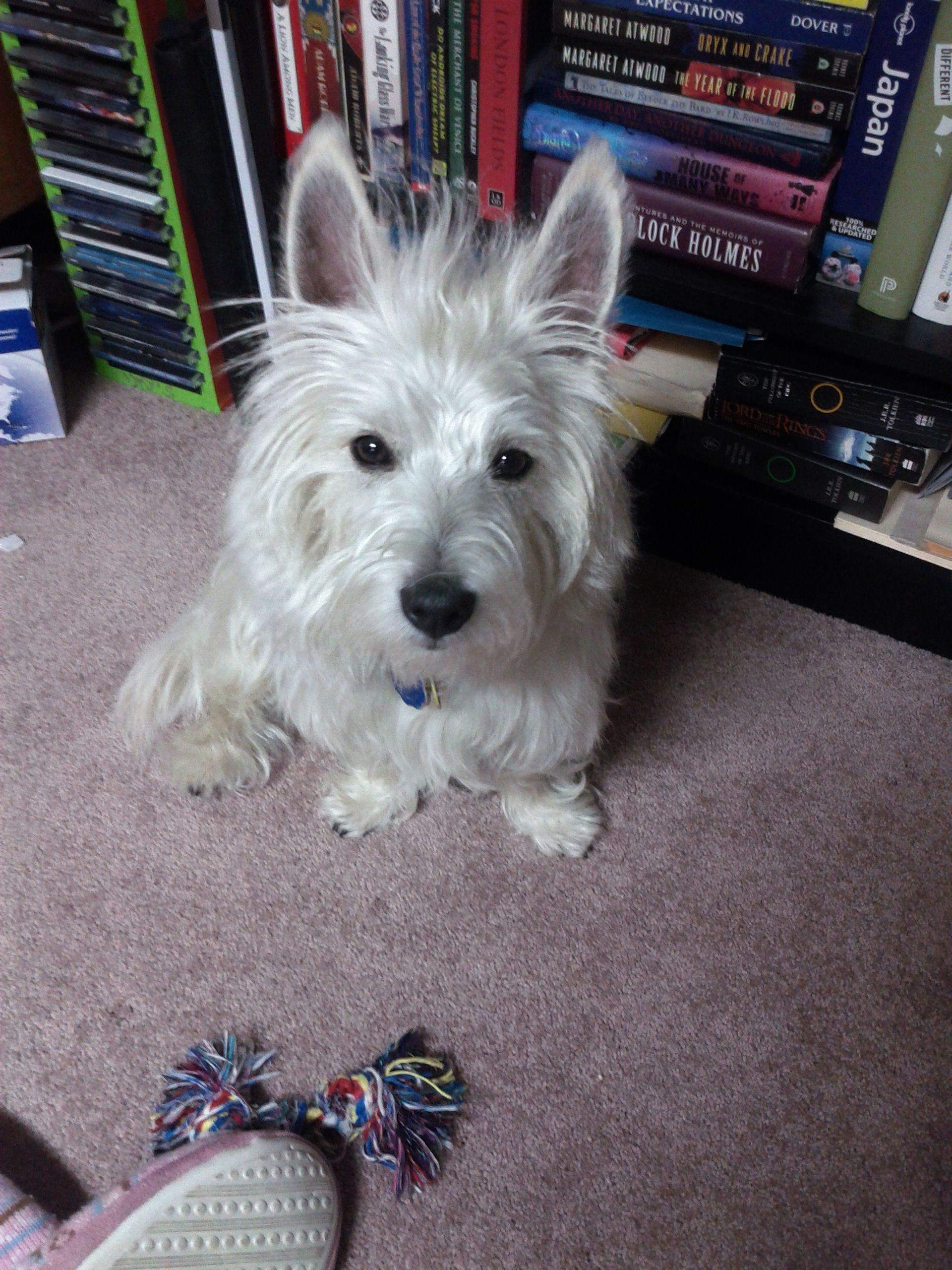 Our Little Milou 1 5 Year Old West Highland White Terrier