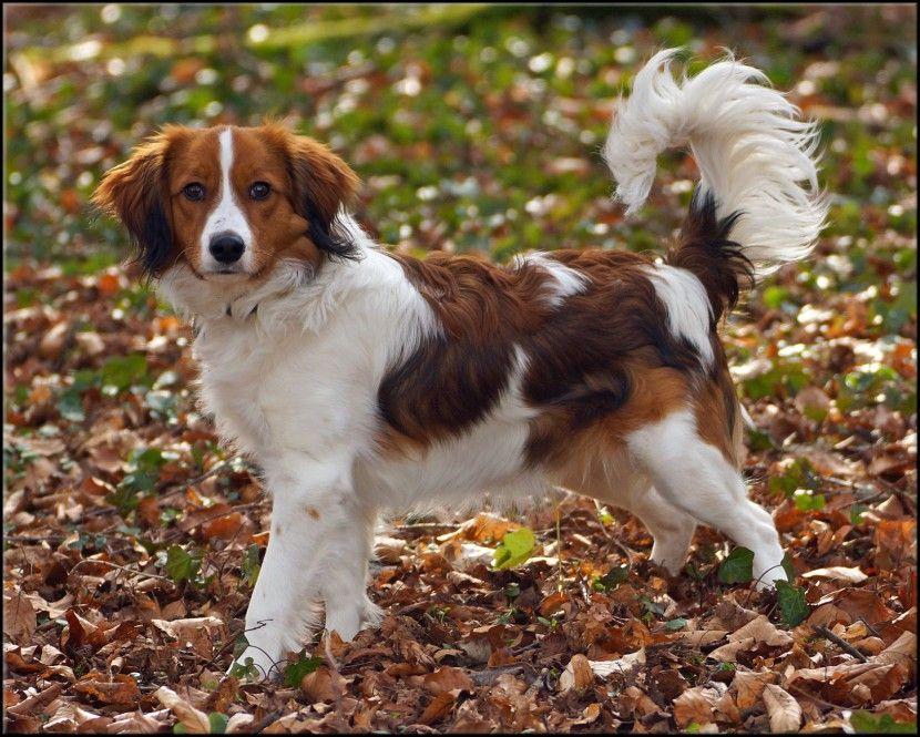 The Kooikerhondje Is A Dutch Gundog Breed Dog Breeds Dogs Cute