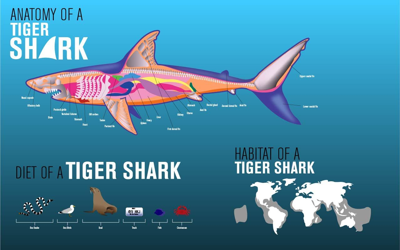 Tiger Shark Diagram Tiger Shark Drawing Anatomy Google Search Fdi Save Our