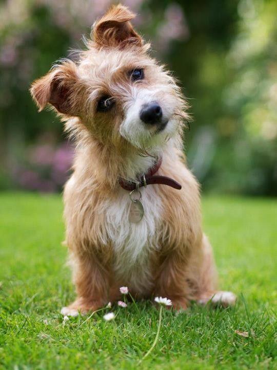 Sporting Lucas Terrier Dogs Lucas Terrier Cute Dogs