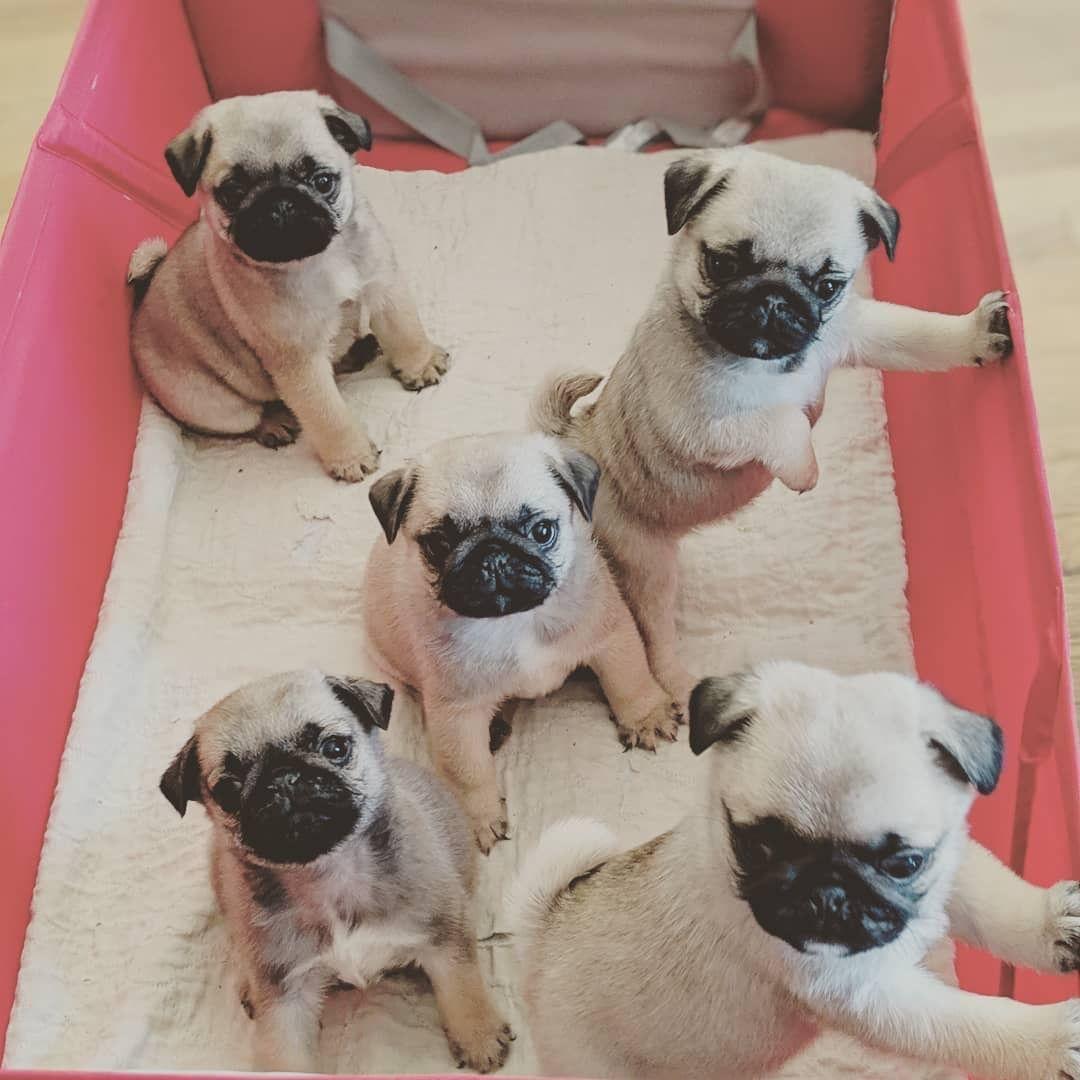 Pin By Sara De Vault On Pugs Cute Puppies Pugs Cute Animals