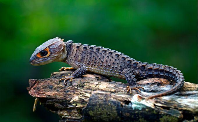 かっこいい爬虫類 アカメカブトトカゲの特徴と飼育方法 値段や繁殖方法 水場を準備しよう Woriver トカゲ 爬虫類 動物
