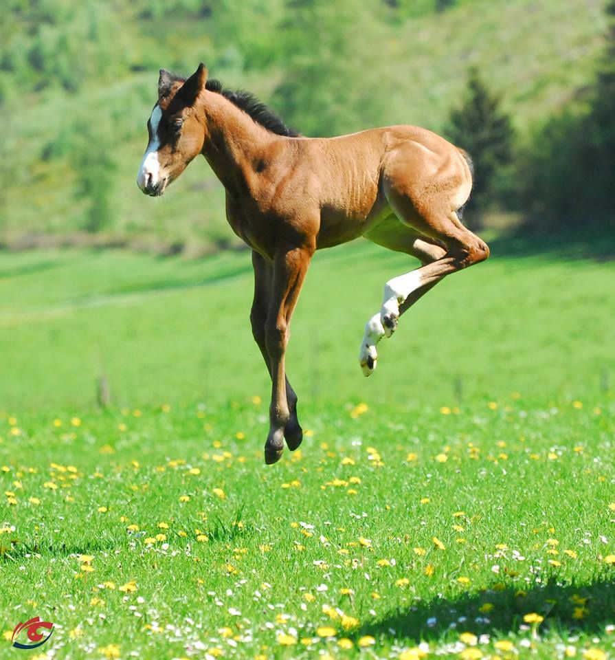 Bucking baby foal frolicking in the meadow!. Please also ...