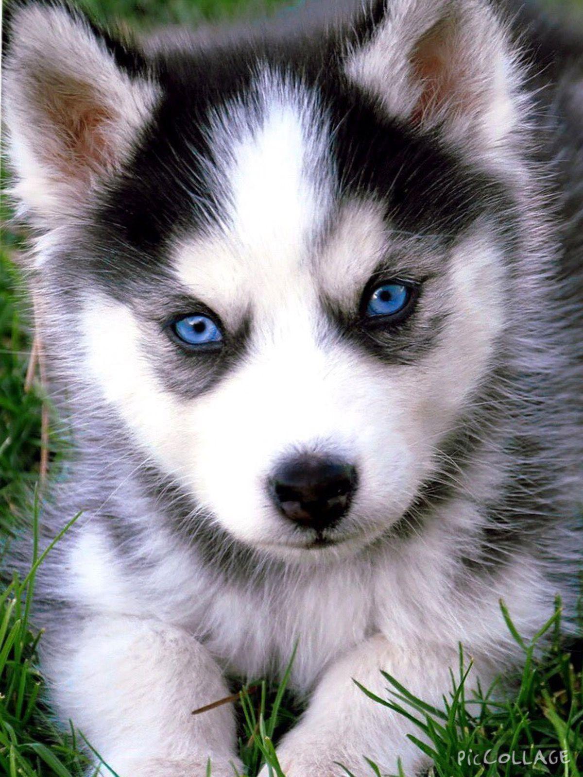 Cute husky puppies image by Nicole on Animals ️ Husky