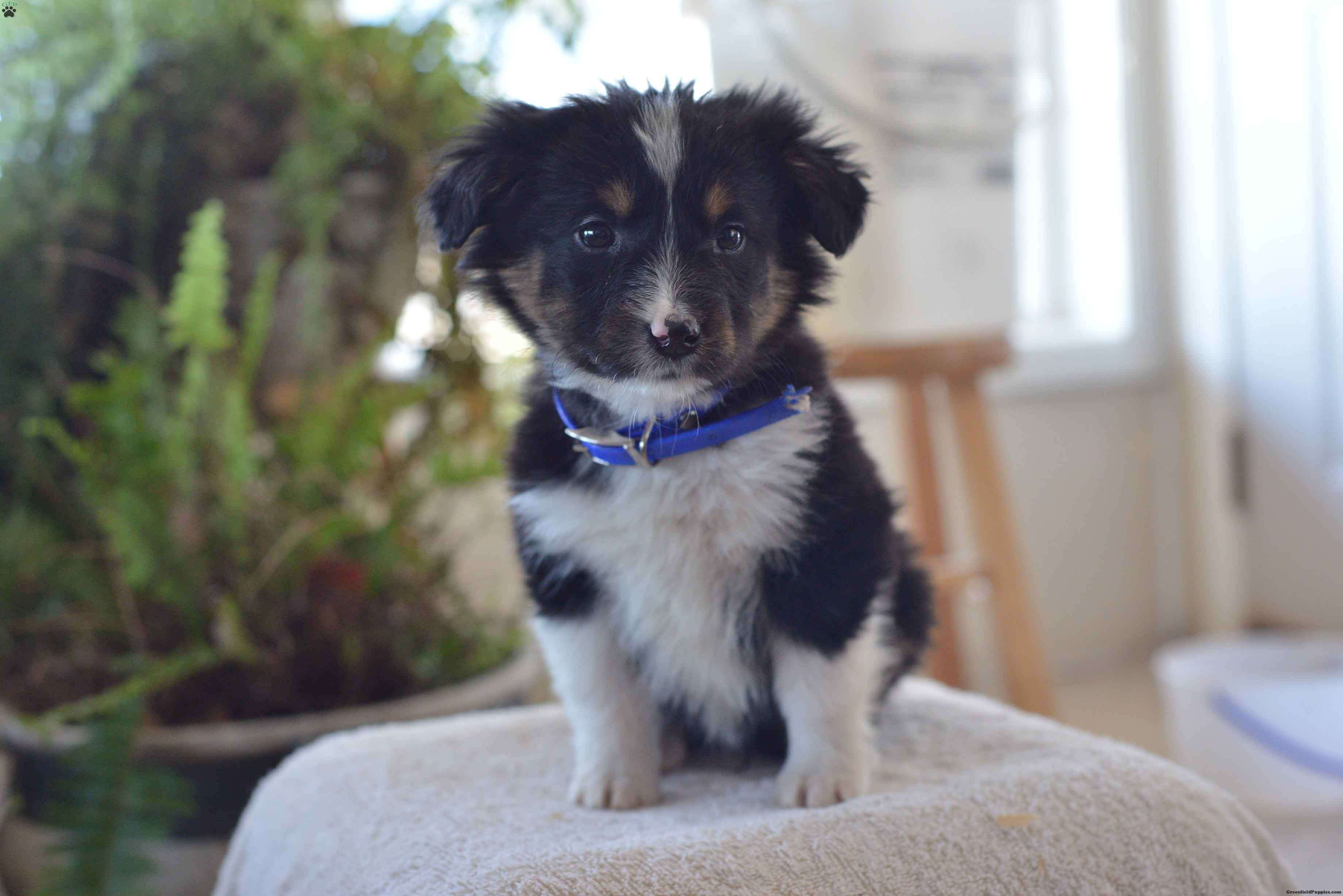 Toby Australian Shepherd Mix Puppy For Sale In Ohio Australian Shepherd Mix Puppies Puppies Australian Shepherd Puppies