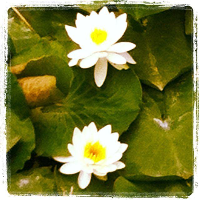 Lotus flowers!