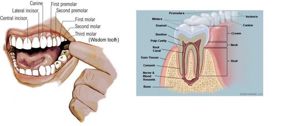 You have three kinds of teeth in your mouth. The incisors, canine ...