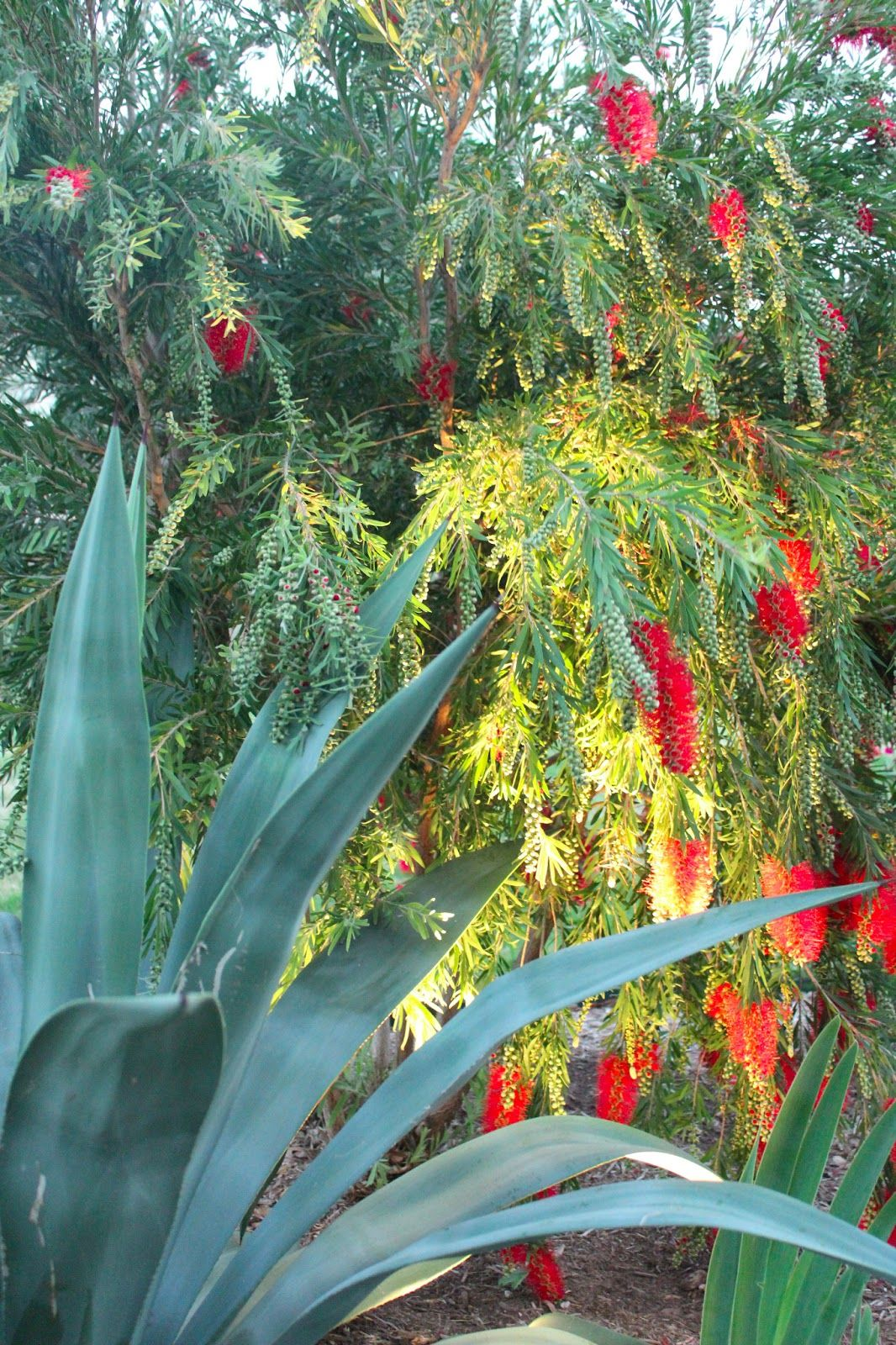 Sharing Natures Garden: Bottle brush blooms ...