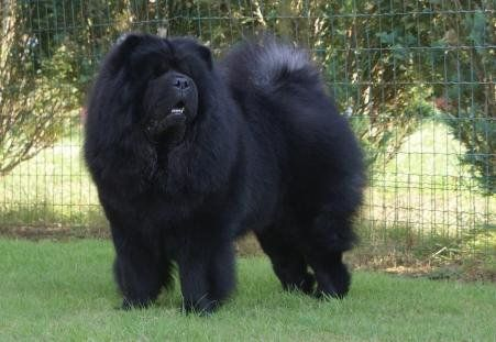 So Fluffy Chow Chow Dogs And Puppies