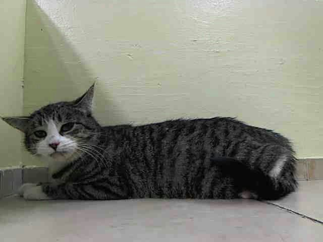 "ID # A0995195  "" August"" Urgent Death Row Cats NY #212-788-4000  Needs OUT NOW!   August is a sweet 1 year old Female ( pinned 4-12)"
