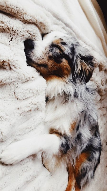 Aussie Shepherd | The Perfect Gift for Wearing All Times of Year! Click for Details!