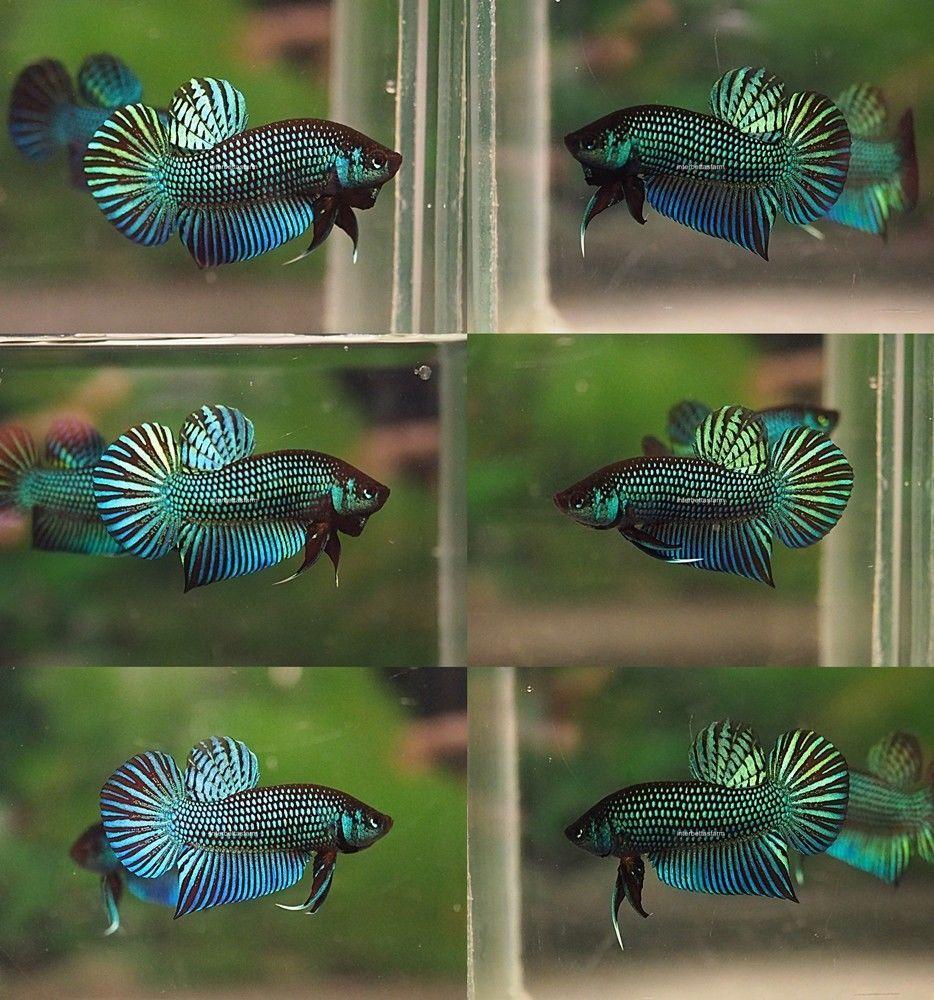 Tropical Fish Wild Type Mahachaiensis A Trio 1 Male 2 Females ปลาก ด ส ตว สวยงาม