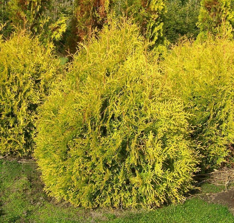 Buy thuja occidentalis rheingold online from jacksons for Arborvitae garden designs