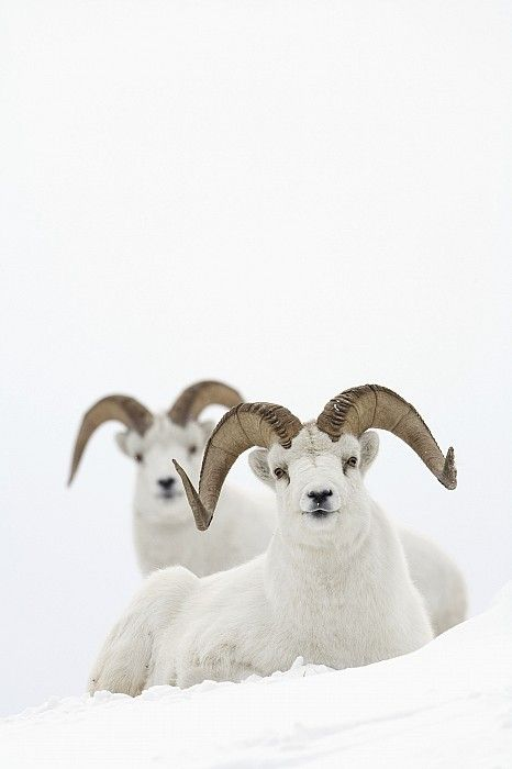 Dall Sheep Rams Bedded In Snow