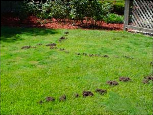 Mole lawn damage. #moles #lawndamage #GrassStitcher