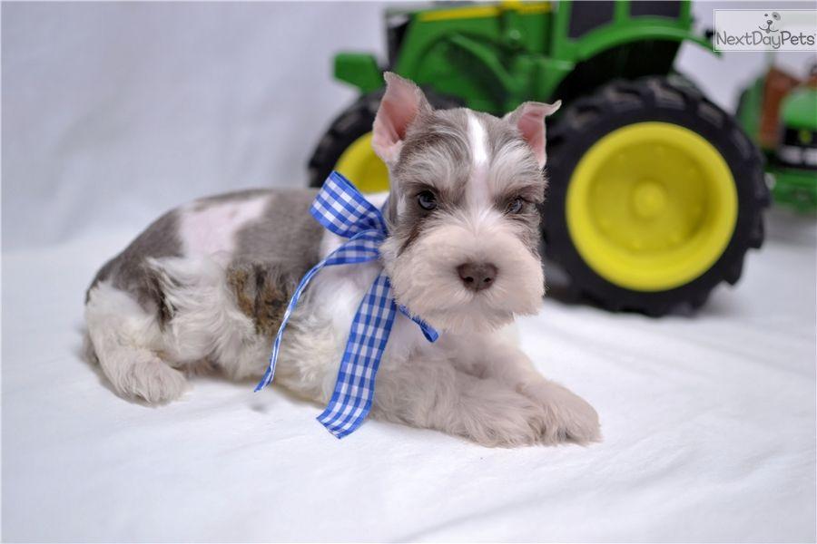 Schnauzer, Miniature puppy for sale near Dallas / Fort