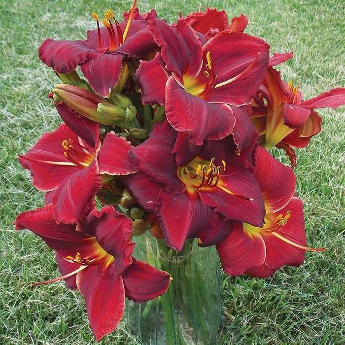 Ravishing Red Daylily Mix Day lilies, Perennials, Flowers