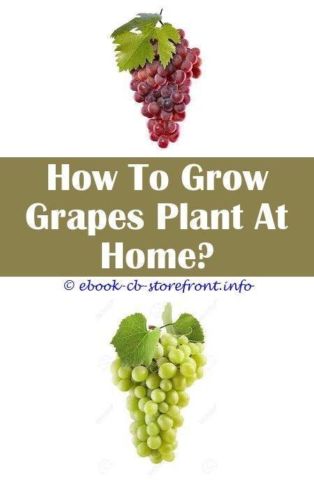 7 Vivid Clever Hacks Grape Growing Trellis How To Build growing grape vines for 7 Vivid Clever Hacks Grape Growing Trellis How To Build growing grape vines for beginnersH...