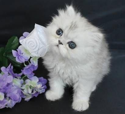 Teacup Persian Cats Teacup Persian kittens available for