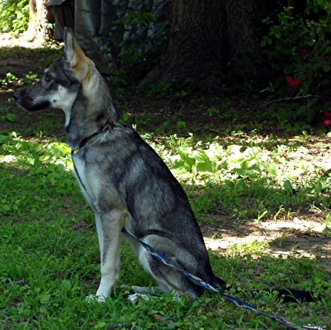 Australian Mix Shepherd Wolf