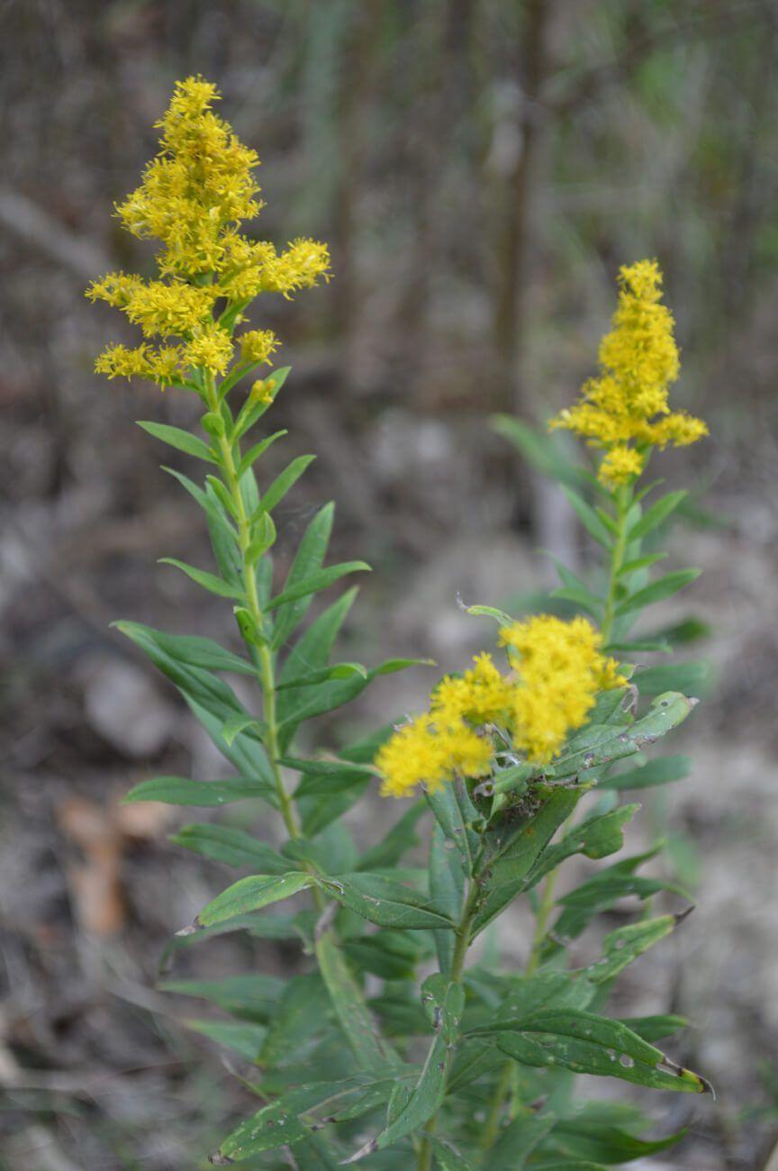 How To Identify Goldenrod Plus Foraging Tips New Life On A Homestead Homesteading Blog Goldenrod Goldenrod Flower Herb Life