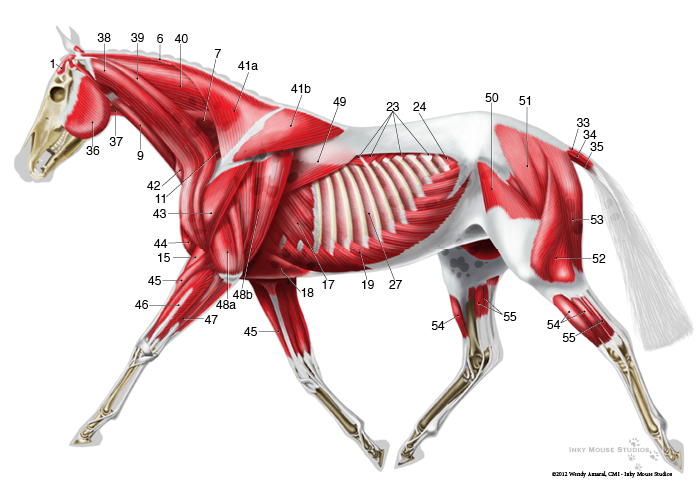 Horse Anatomy Diagram Muscles 1950 Farmall Super A Wiring Equine Superficial Musculature Chart Sculpting Reference Trotting Muscle Lateral
