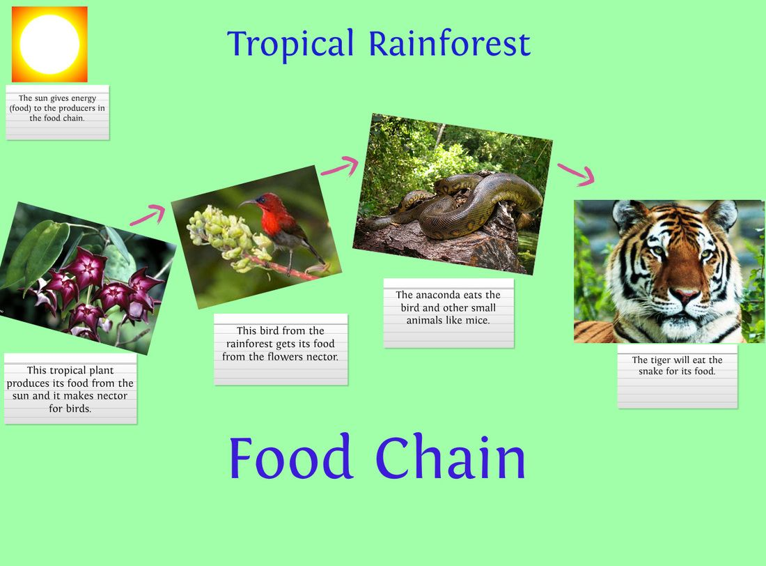 Picture Rainforest food chain, Food chain