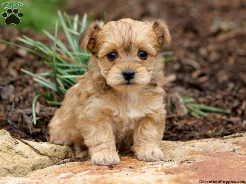Obie, yorkiepoo puppy for sale from Lykens, PA Cute